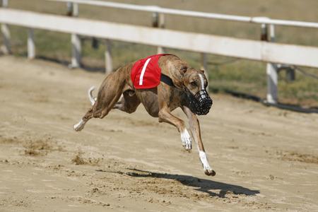 Running racing greyhound dog on racing track 스톡 콘텐츠