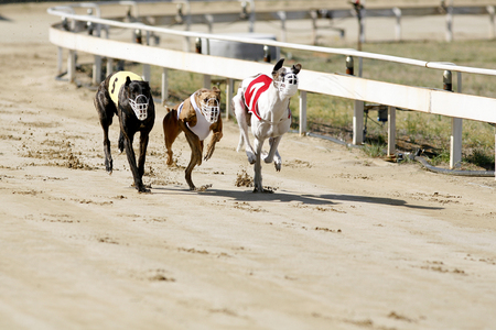 Sprinting dynamic greyhounds on the race course 免版税图像 - 57193669
