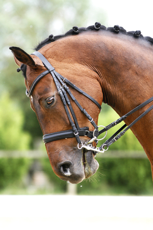 racehorse: Face of a beautiful purebred racehorse on dressage training Editorial