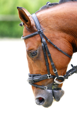racehorse: Head shot  of a thoroughbred racehorse with beautiful trappings under saddle during training