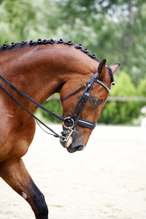 thoroughbred: Head shot  of a thoroughbred racehorse with beautiful trappings under saddle during training
