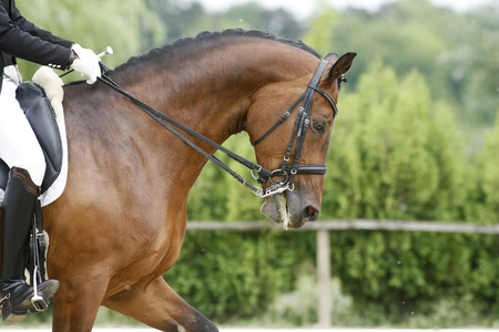 Head of a young dressage horse with unknown rider in action Stock Photo