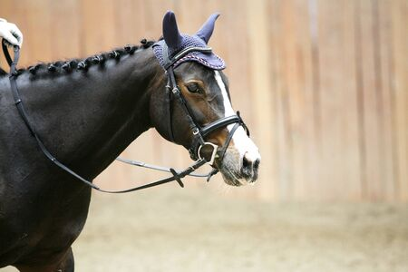 Face of a beautiful purebred racehorse in riding hall Stock Photo
