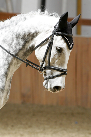 racehorse: Face of a beautiful purebred racehorse on dressage training Stock Photo