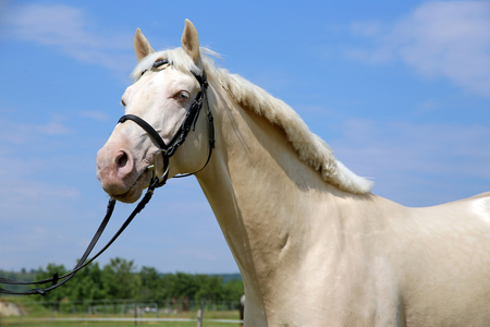 thoroughbred: Thoroughbred cremello horse with bridle against blue sky background Stock Photo