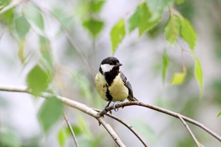 single songs: Great titmouse nestling bird sitting on a branch at the beginning of the spring