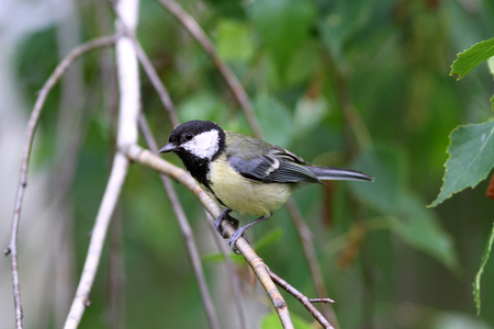 white perch: Baby great tit aka parus major learn to fly springtime