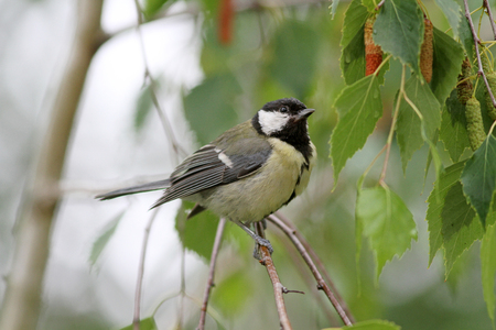 bird song: Squeaker great tit aka parus major learn to fly springtime