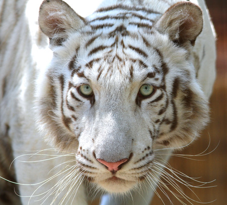 White colored bengal tiger. Panthera tigris bengalensis Stock Photo