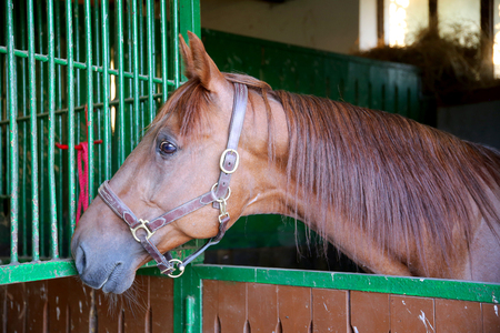 racehorse: Anglo-arabian racehorse watching other horses out of the stable Stock Photo