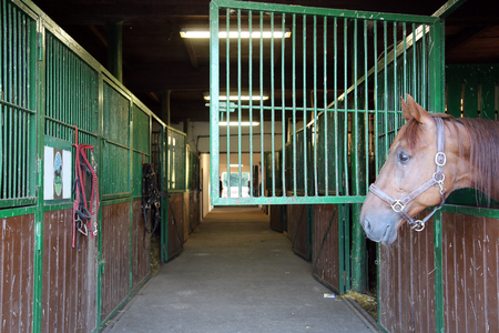 racehorse: Nice thoroughbred  young chestnut racehorse standing at the stable door