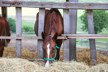 thoroughbred: Thoroughbred young horse in the paddock eating dry hay summertime Stock Photo