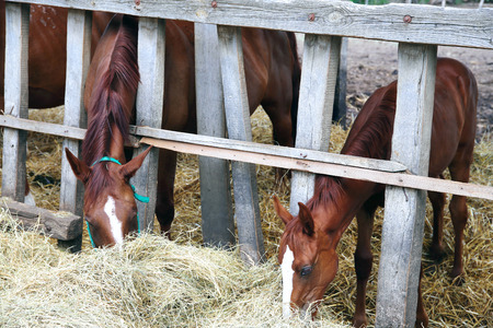 haymow: Hungarian gidran horses eating hay in the stable Stock Photo