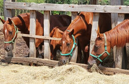 yegua: Grupo de caballos de pura raza comer escena rural heno en granja de animales