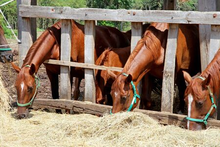 Thoroughbred young horses in the paddock eating dry hay summertime