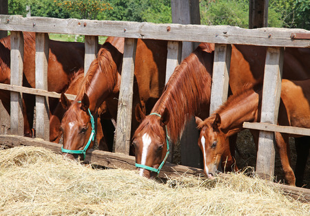 haymow: Mares and foals eating grass behind old wooden fence Stock Photo
