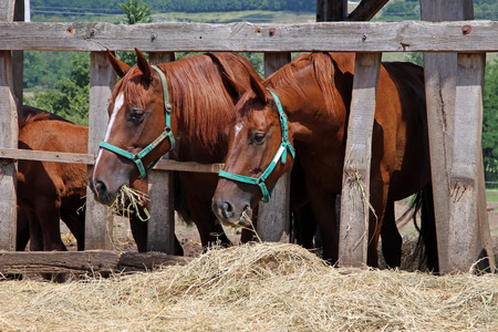 Purebred young mare and foal eating dry hay at animal farm Stock Photo
