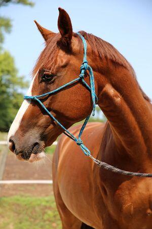 yegua: Cierre plano de caballo joven anglo-árabe
