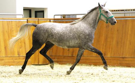Running lipizzaner horse in empty riding hall