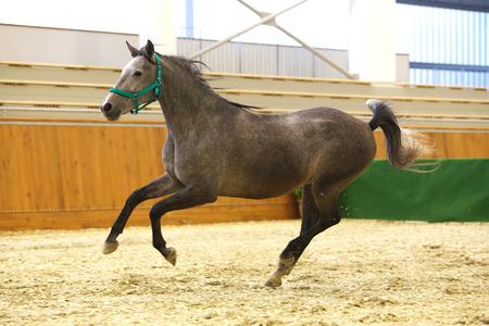 lipizzan horse: Thoroughbred lipizzan horse canter empty riding hall Stock Photo