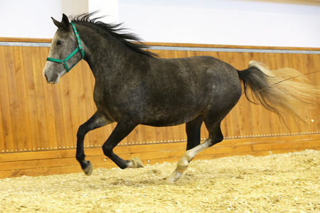 lipizzan horse: Purebred lipizzaner galloping without rider. Thoroughbred lipizzan horse canter empty riding hall