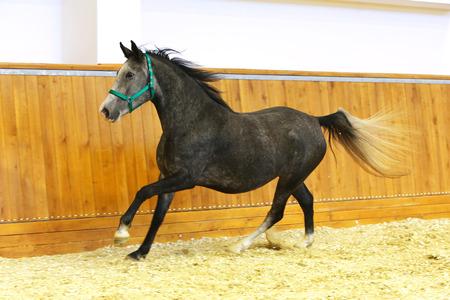 lipizzan horse: Running lipizzaner horse in empty riding hall