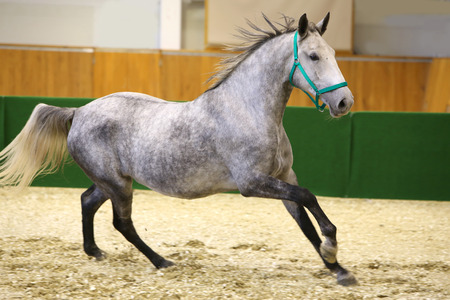 lipizzan horse: Grey colored lipizzan horse runs in riding hall