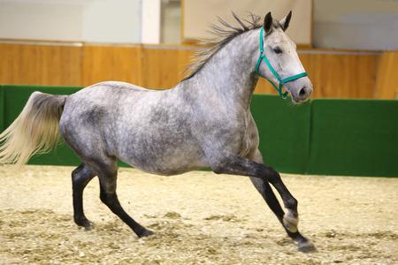 lipizzan horse: Grey colored lipizzan horse runs in riding hall