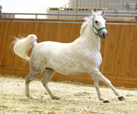 lipizzaner: Grey colored lipizzan horse runs in riding hall