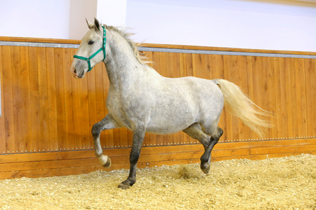 lipizzan horse: Grey colored lipizzan horse runs in riding hall. Purebred lipizzaner galloping without rider