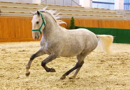 lipizzan horse: Young purebred lipizzan breed horse canter alone. Elite lipizzan horse galloping across the arena