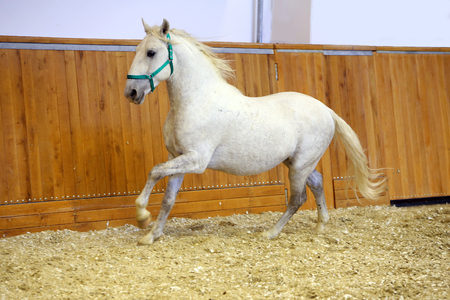 lipizzan horse: Young purebred lipizzan breed horse canter alone. Grey colored youngster lipizzan horse galloping in riding hall