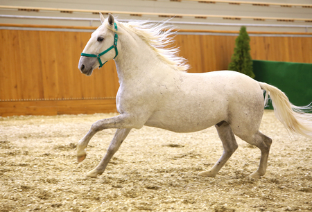 lipizzan horse: Elite lipizzan horse galloping across the arena