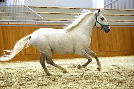 lipizzan horse: Thoroughbred lipizzaner runs alone empty riding hall. Young purebred lipizzan breed horse canter alone Stock Photo