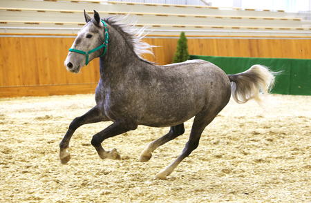 lipizzan horse: Beautiful purebred young lipizzan horse galloping across empty riding hall