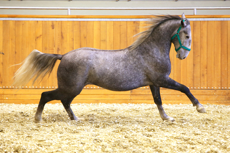 lipizzan horse: Young purebred lipizzan breed horse canter alone. Beautiful purebred young lipizzan horse galloping across empty riding hall Stock Photo