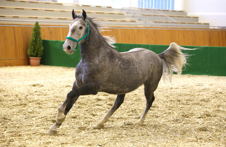 lipizzan horse: Grey colored youngster lipizzan horse galloping in riding hall Stock Photo