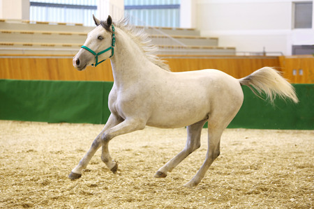 lipizzan horse: Young purebred lipizzan breed horse canter alone. Check out my other horse photos please Stock Photo