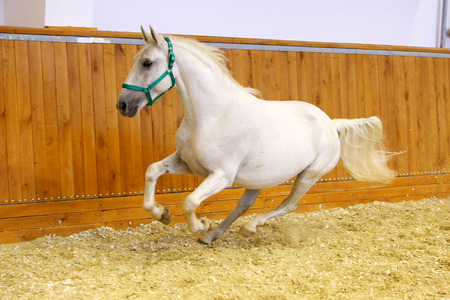 lipizzan horse: Beautiful purebred young lipizzan horse galloping across empty riding hall. Check out my other horse photos please
