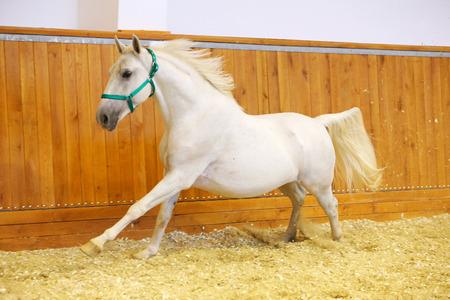 lipizzan horse: Elite lipizzan horse galloping across the arena. Lipizzaner at a gallop in empty arena