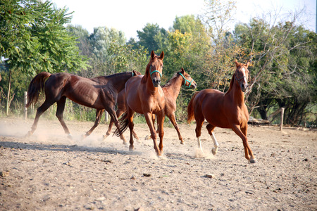 Beautiful chestnut colored horses galloping in the pinfold Stock Photo