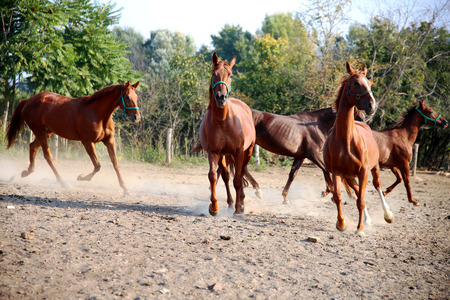 Thoroughbred young hungarian gidran stallions runs across in summer corral Stock Photo