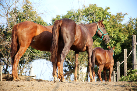 stallions: Purebred young stallions standing in summer corral