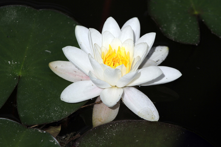 Water lily aka lotus flower blooming in clear water lake summer time