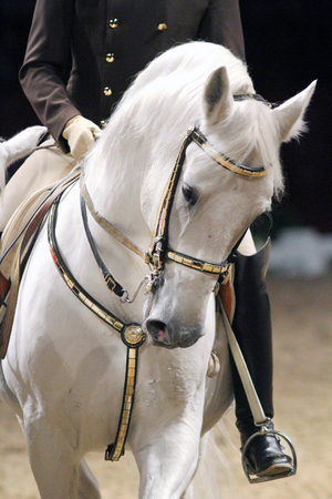 Head shot of a lipzzan horse with unknown rider in action