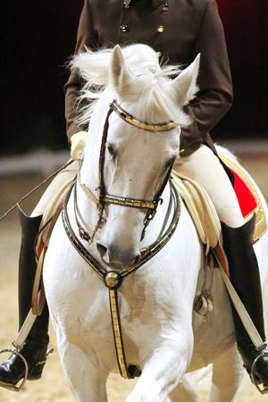 Hoofd schot van een lipzzan paard met onbekende ruiter in actie Stockfoto
