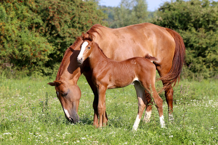 Beautiful mother horse with her foal nearby grazed on pasture summertime Stock Photo