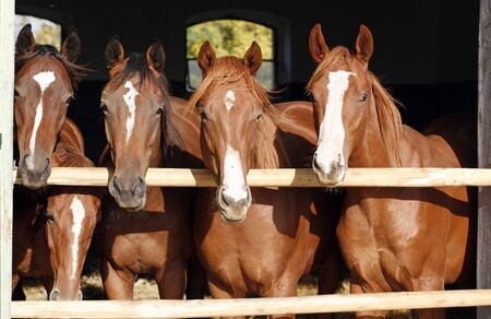 racehorses: Purebred chestnut young racehorses looking over the barn door