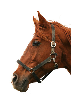Closeup portrait of a beautiful horse against white background Stock Photo