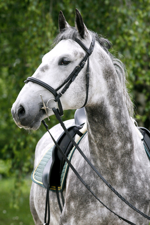 Purebred gray lipizzaner stallion under saddle  Stock Photo